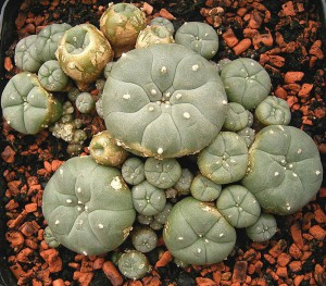 Lophophora_williamsii_ies