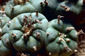 Peyote_Cactus LOPHOPHORA Williamsii